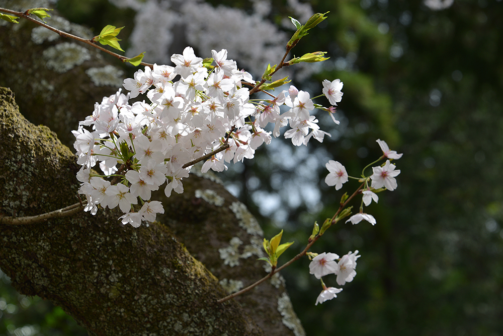 Japan 5 Apr 2014 KAMAKURA 38