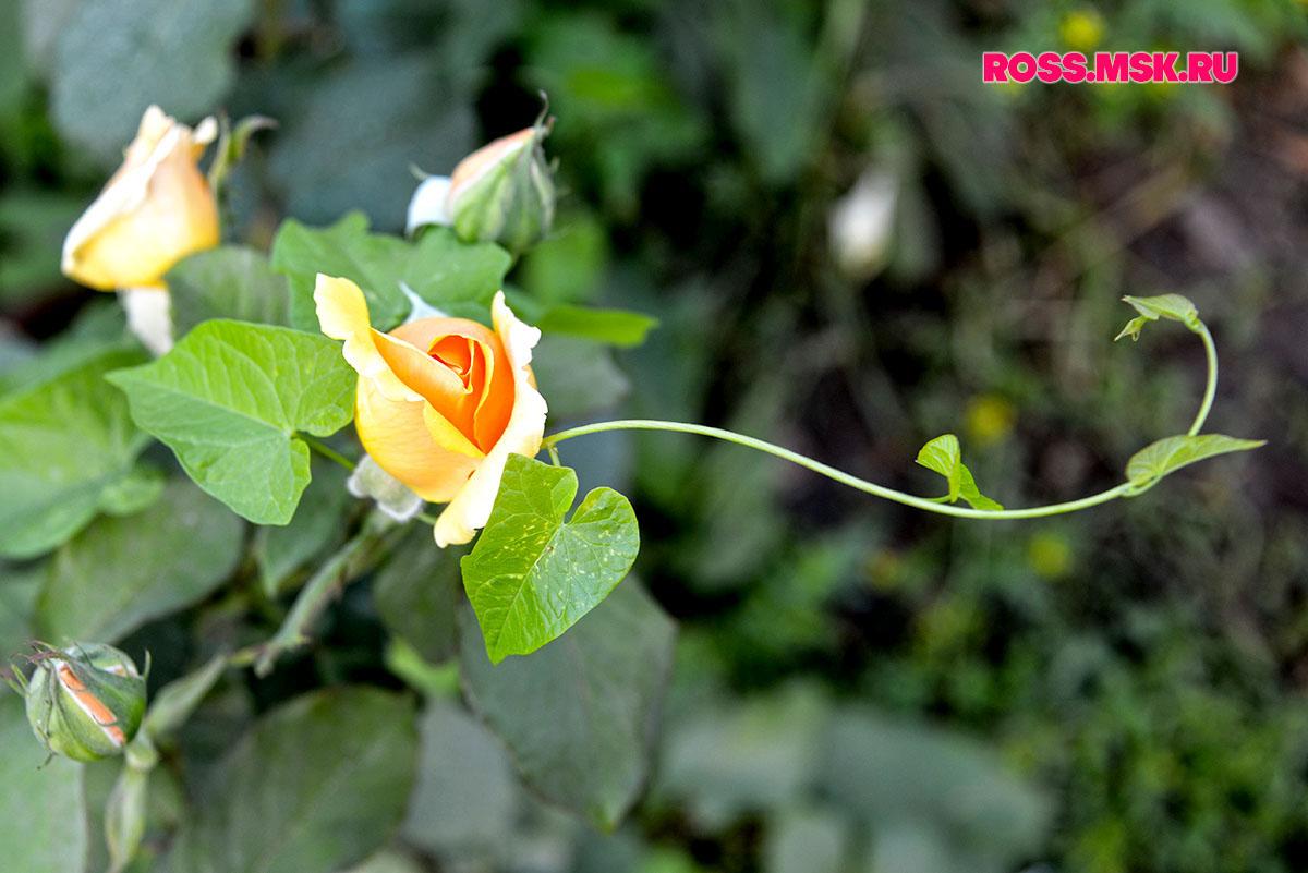 _06_2016 I Gorky Park Roses 12
