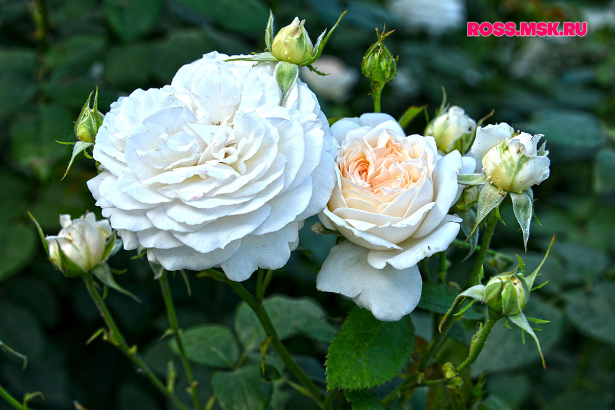 _06_2016 I Gorky Park Roses 13