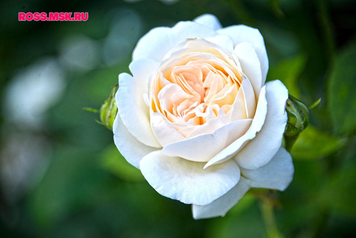 _06_2016 I Gorky Park Roses 14