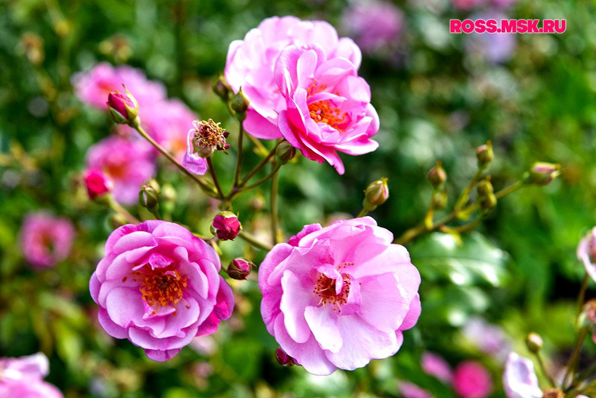 _06_2016 I Gorky Park Roses 17