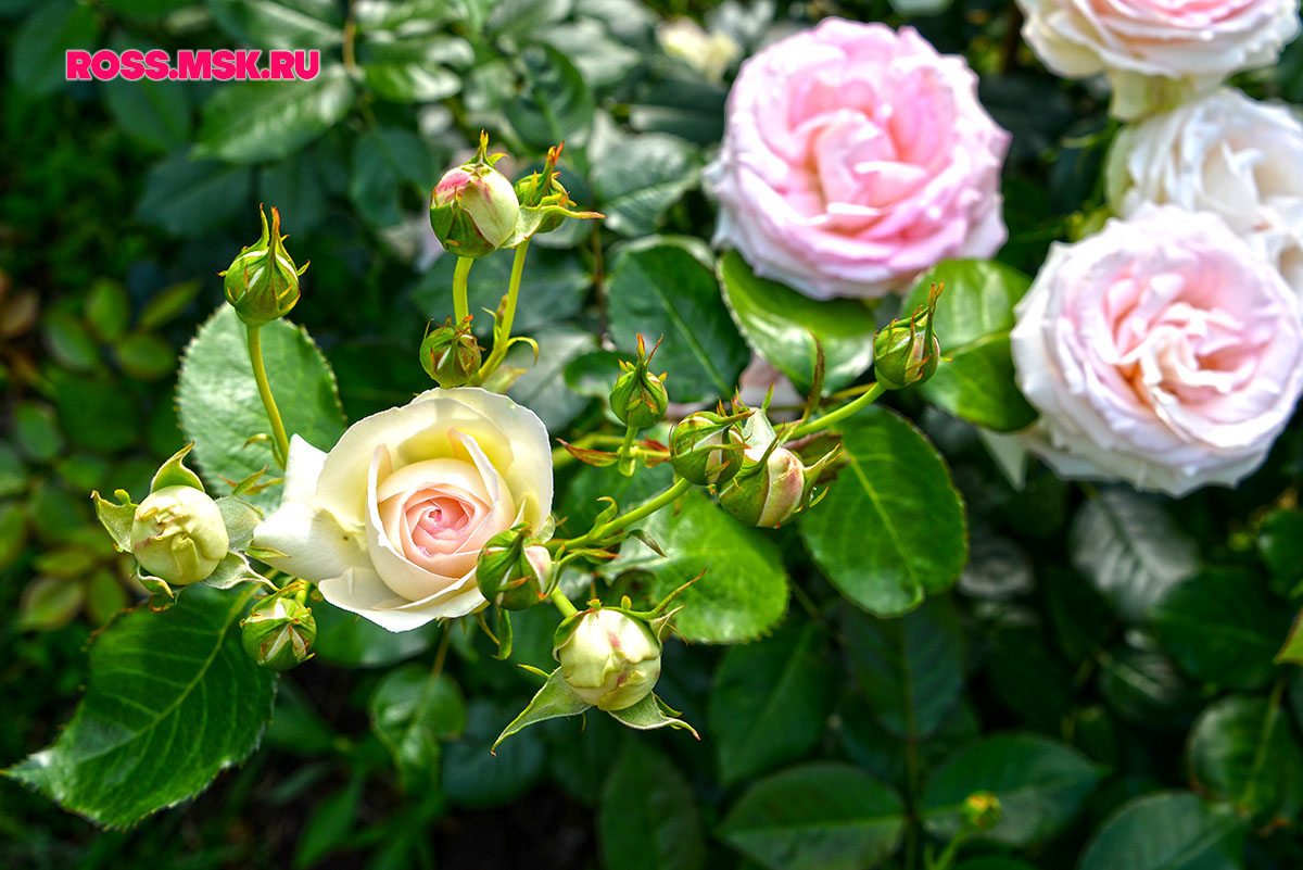 _06_2016 I Gorky Park Roses 18
