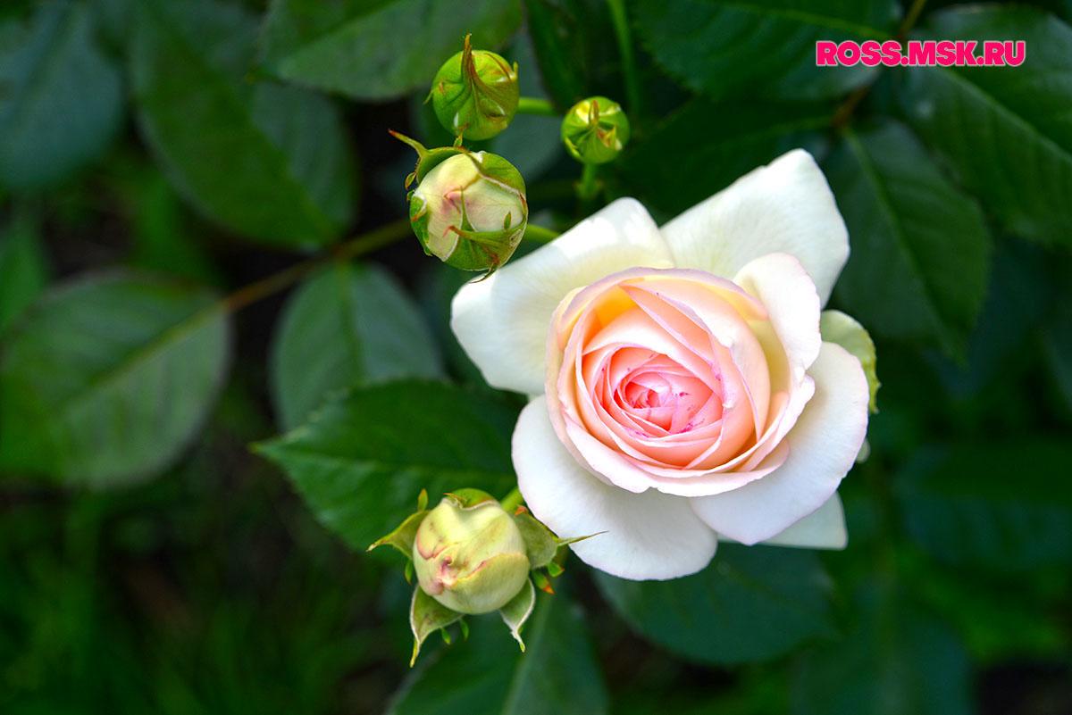 _06_2016 I Gorky Park Roses 19
