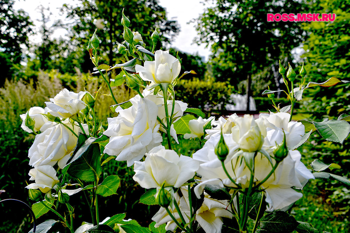 _06_2016 I Gorky Park Roses 20