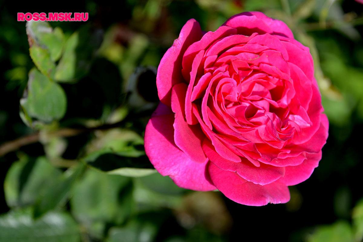 _06_2016 I Gorky Park Roses 4