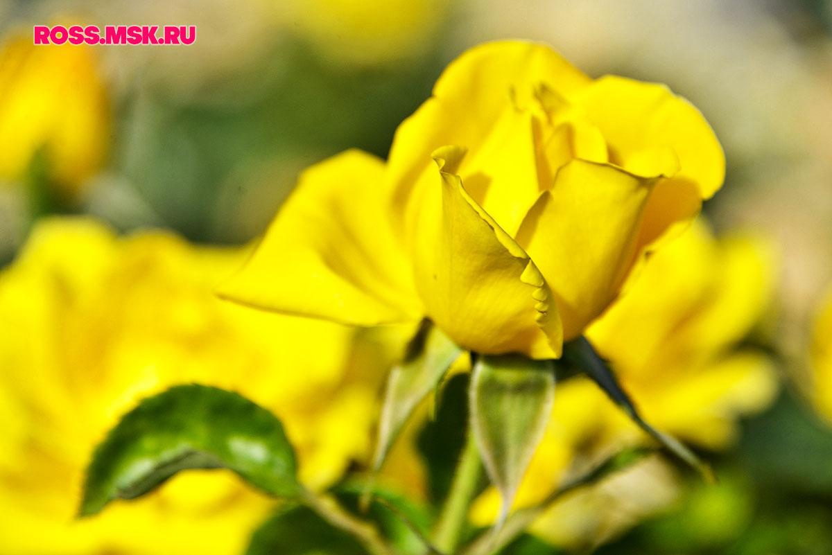 _06_2016 I Gorky Park Roses 6